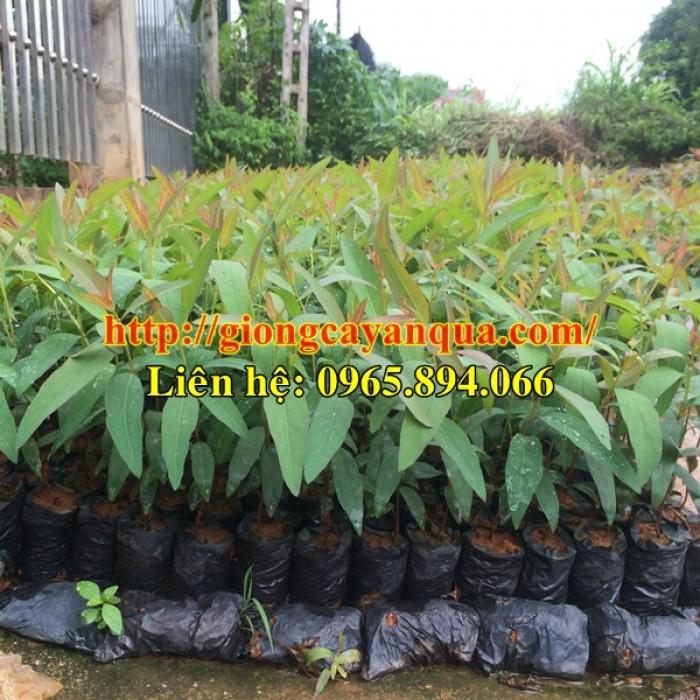 Cung cấp giống bạch đàn, bạch đàn mô u6, giống bạch đàn mô - cây giống chất lượng2