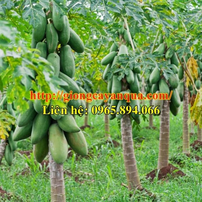 Cung cấp giống đu đủ lùn Thái Lan, đủ đủ lùn F1, đủ đủ F1 Thái Lan - Đại học Nông nghiệp 15