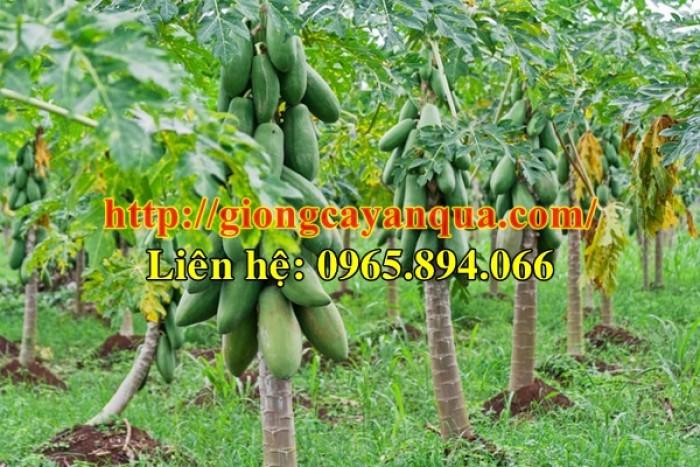 Cung cấp giống đu đủ lùn Thái Lan, đủ đủ lùn F1, đủ đủ F1 Thái Lan - Đại học Nông nghiệp 110