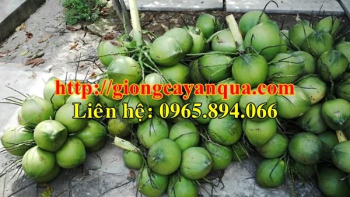 Cung cấp giống dừa xiêm lùn, dừa xiêm lùn F1, dừa xiêm xanh lùn, dừa xiêm vàng9
