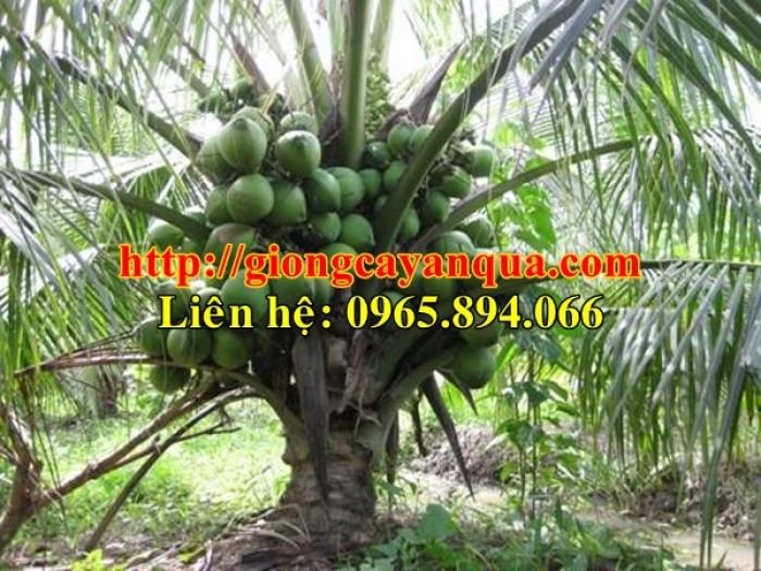 Cung cấp giống dừa xiêm lùn, dừa xiêm lùn F1, dừa xiêm xanh lùn, dừa xiêm vàng8