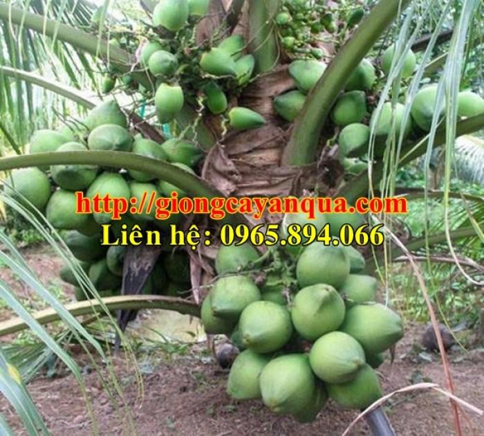 Cung cấp giống dừa xiêm lùn, dừa xiêm lùn F1, dừa xiêm xanh lùn, dừa xiêm vàng6
