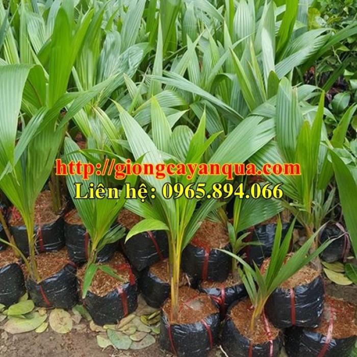 Cung cấp giống dừa xiêm lùn, dừa xiêm lùn F1, dừa xiêm xanh lùn, dừa xiêm vàng3