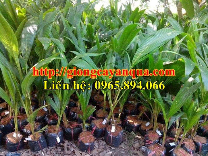 Cung cấp giống dừa xiêm lùn, dừa xiêm lùn F1, dừa xiêm xanh lùn, dừa xiêm vàng5