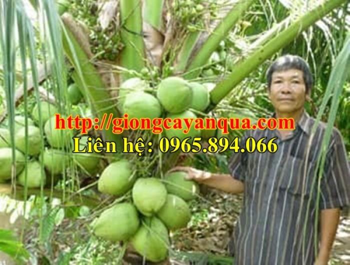 Cung cấp giống dừa xiêm lùn, dừa xiêm lùn F1, dừa xiêm xanh lùn, dừa xiêm vàng7