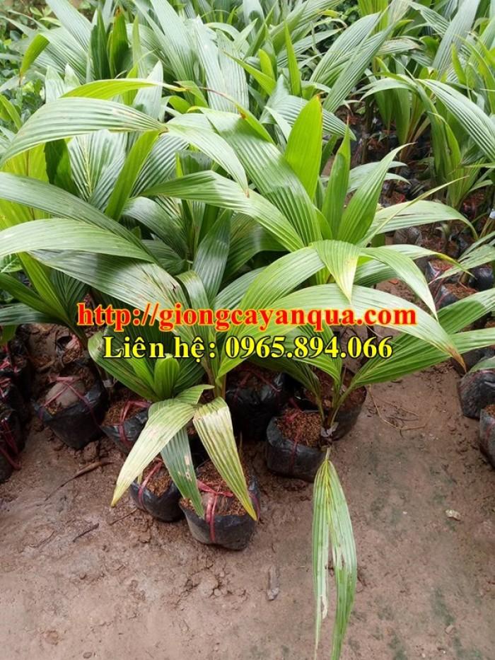 Cung cấp giống dừa xiêm lùn, dừa xiêm lùn F1, dừa xiêm xanh lùn, dừa xiêm vàng1