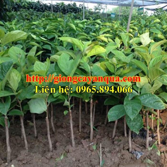 Cung cấp cây giống hồng nhân hậu, cây giống hồng nhân hậu F1, hồng không hạt - Đại học Nông nghiệp 12