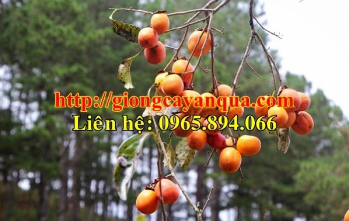 Cung cấp cây giống hồng nhân hậu, cây giống hồng nhân hậu F1, hồng không hạt - Đại học Nông nghiệp 13