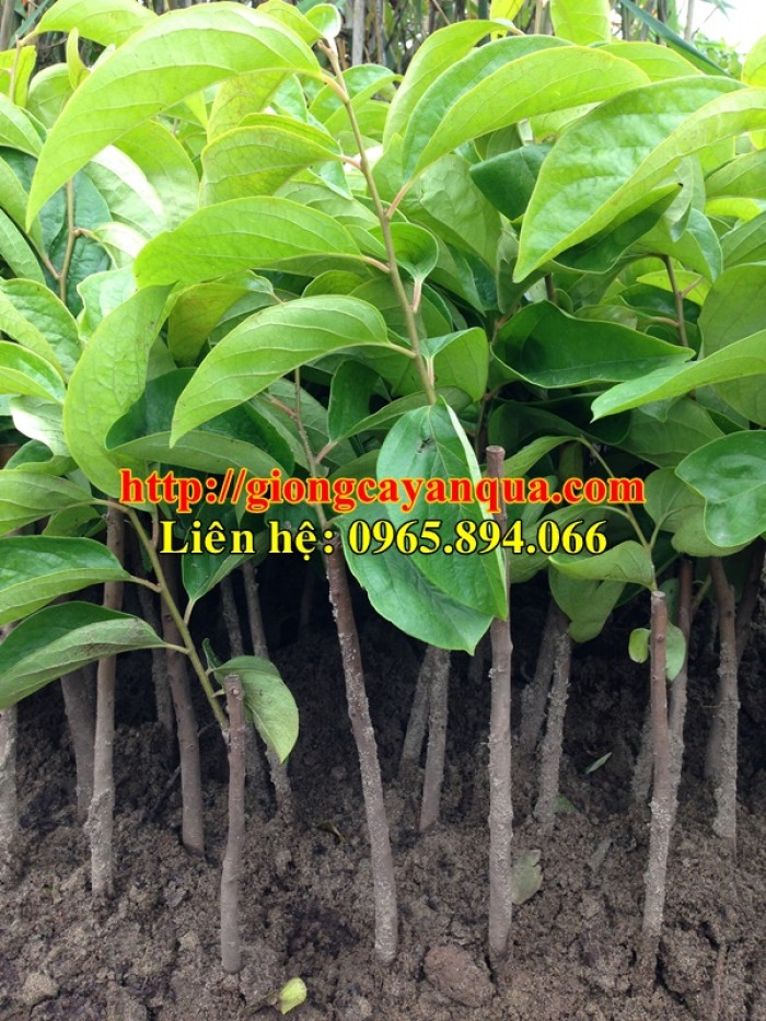Cung cấp cây giống hồng nhân hậu, cây giống hồng nhân hậu F1, hồng không hạt - Đại học Nông nghiệp 10