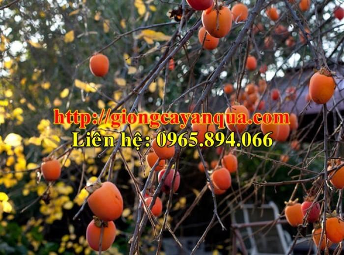 Cung cấp cây giống hồng nhân hậu, cây giống hồng nhân hậu F1, hồng không hạt - Đại học Nông nghiệp 19