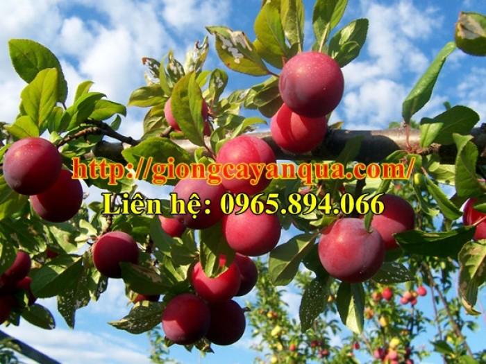 Cung cấp giống mận hậu - cây giống chất lượng - Đại học Nông nghiệp 14
