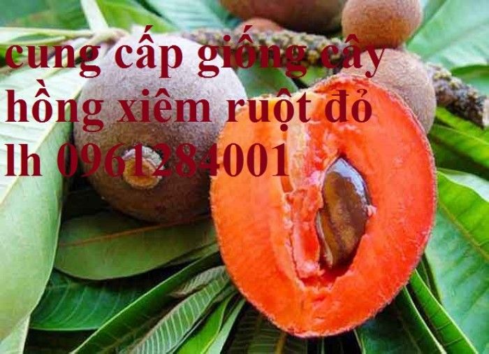 Hồng xiêm ruột đỏ - hồng xiêm Thái Lan, cây giống mới nhập khẩu chất lượng cao