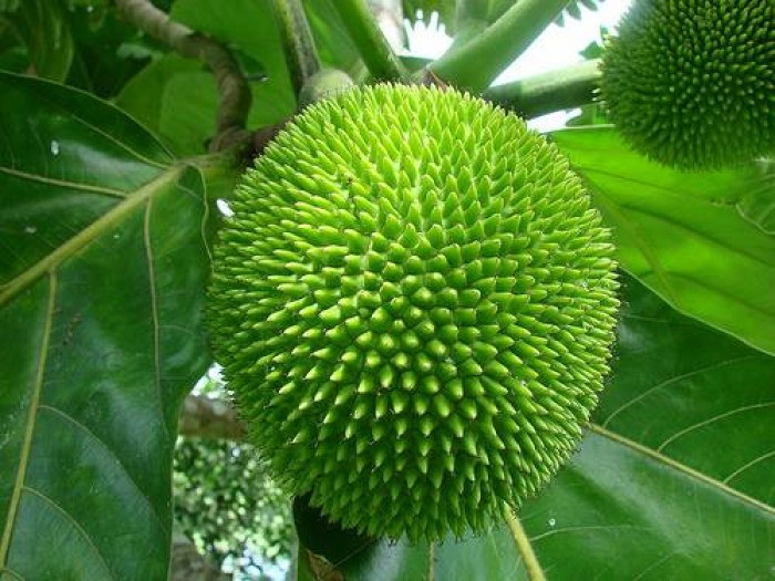 Cung cấp cây sa kê chiết cây giống cho quả giống trái mít. giống chuẩn cung cấp toàn quốc.1