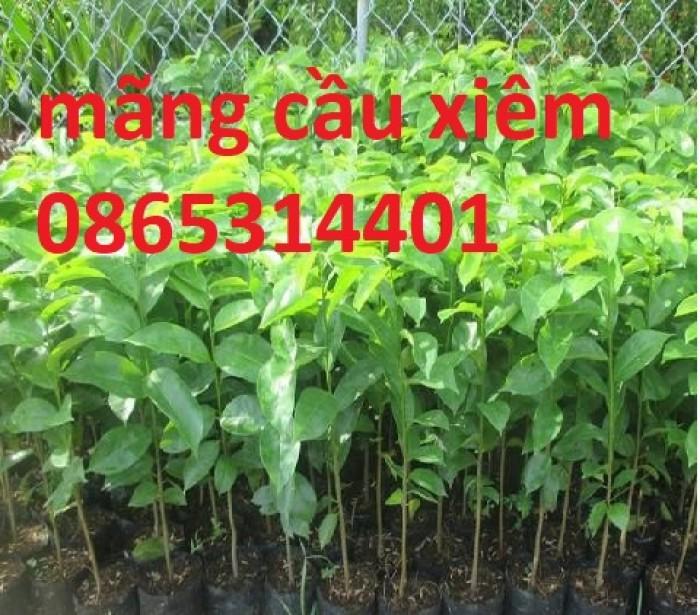 Giống cây mãng cầu xiêm ghép, mãng cầu xiêm hạt, mãng cầu xiêm cây giống chuẩn.2