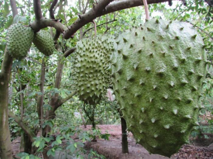 Giống cây mãng cầu xiêm ghép, mãng cầu xiêm hạt, mãng cầu xiêm cây giống chuẩn.4