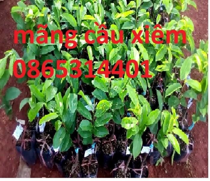 Giống cây mãng cầu xiêm ghép, mãng cầu xiêm hạt, mãng cầu xiêm cây giống chuẩn.0