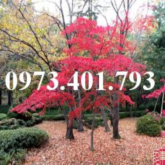 Cây phong lá đỏ2