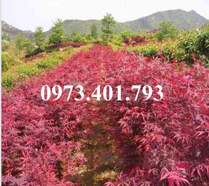 Cây phong lá đỏ3