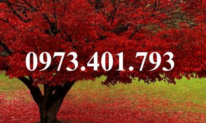 Cây phong lá đỏ4