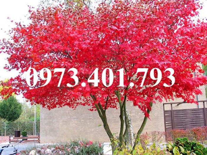 Cây phong lá đỏ1