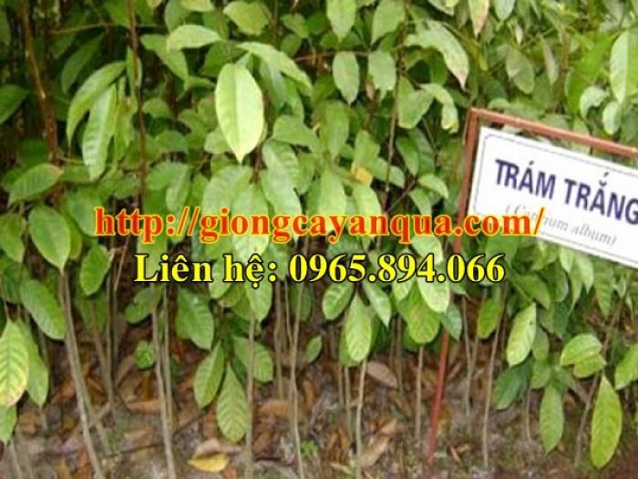 Cung cấp giống cây trám trắng, giống trám trắng - Đại học Nông nghiệp Hà Nội3