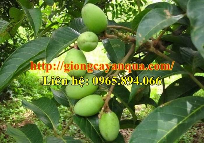 Cung cấp giống cây trám trắng, giống trám trắng - Đại học Nông nghiệp Hà Nội1