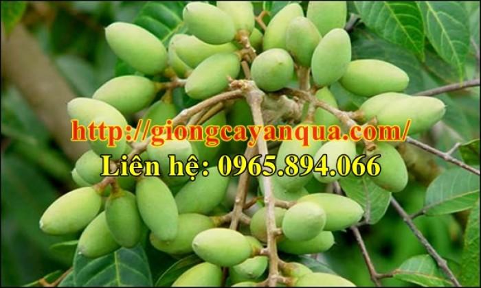 Cung cấp giống cây trám trắng, giống trám trắng - Đại học Nông nghiệp Hà Nội2