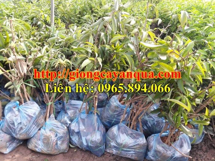 Cung cấp giống cây vải thiều, cây giống vải cao sản - Đại học Nông nghiệp Hà Nội5