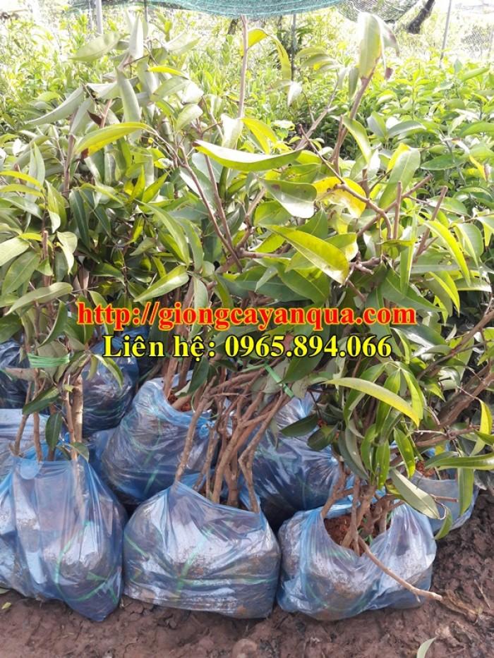 Cung cấp giống cây vải thiều, cây giống vải cao sản - Đại học Nông nghiệp Hà Nội6