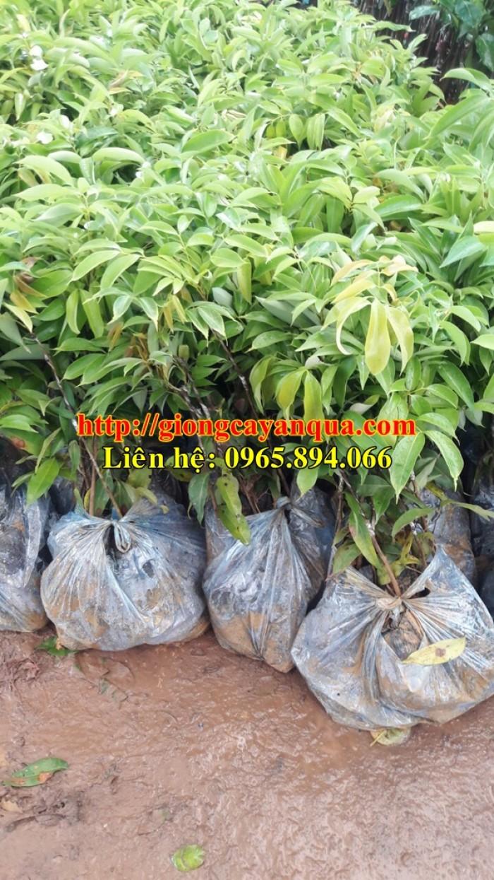 Cung cấp giống cây vải thiều, cây giống vải cao sản - Đại học Nông nghiệp Hà Nội4