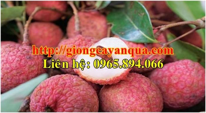 Cung cấp giống cây vải thiều, cây giống vải cao sản - Đại học Nông nghiệp Hà Nội2