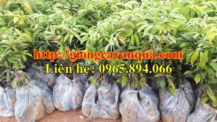 Cung cấp giống cây vải thiều, cây giống vải cao sản - Đại học Nông nghiệp Hà Nội1