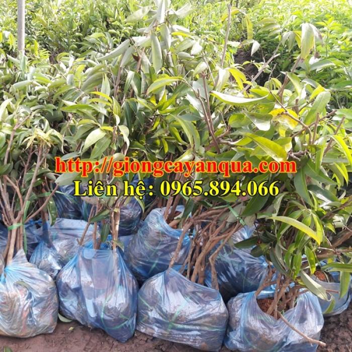 Cung cấp giống cây vải thiều, cây giống vải cao sản - Đại học Nông nghiệp Hà Nội0