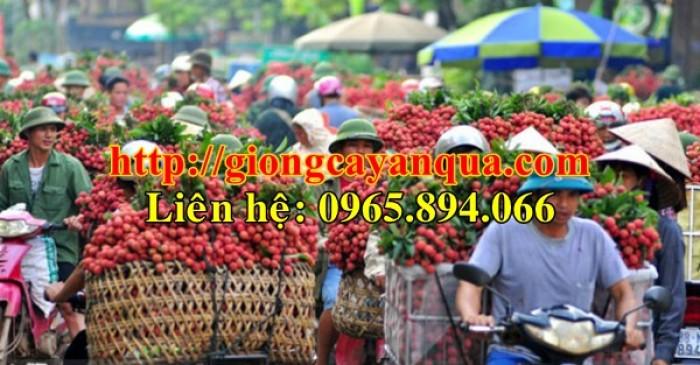 Cung cấp giống cây vải thiều, cây giống vải cao sản - Đại học Nông nghiệp Hà Nội3