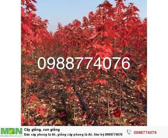 Bán cây phong lá đỏ, giống cây phong lá đỏ.0