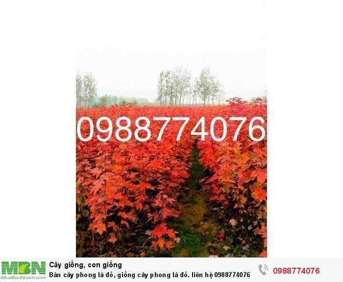 Bán cây phong lá đỏ, giống cây phong lá đỏ.3