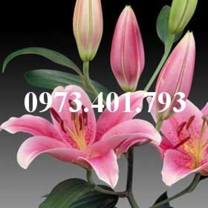 Cây hoa ly hồng thơm0