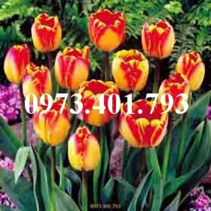 Cây hoa tulip màu vàng viền đỏ0