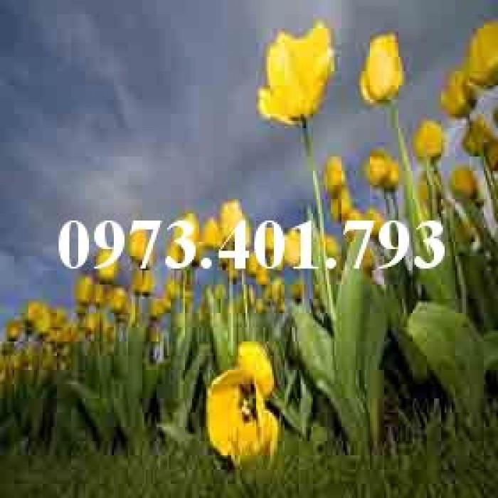 Cây hoa tulip màu vàng0