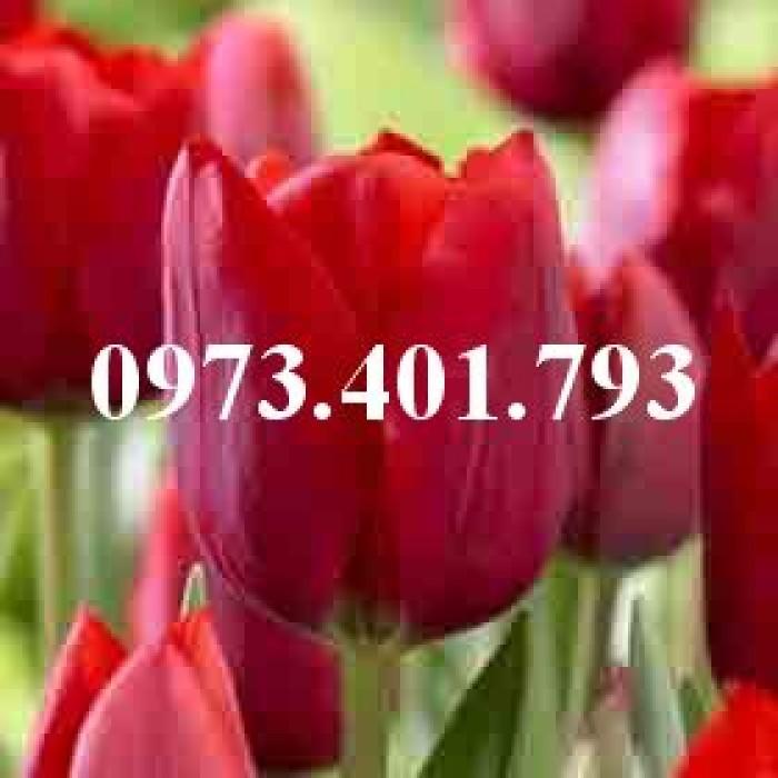 Cây hoa tulip màu đỏ mận0