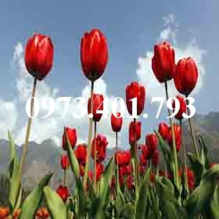 Cây hoa tulip màu đỏ nhung0