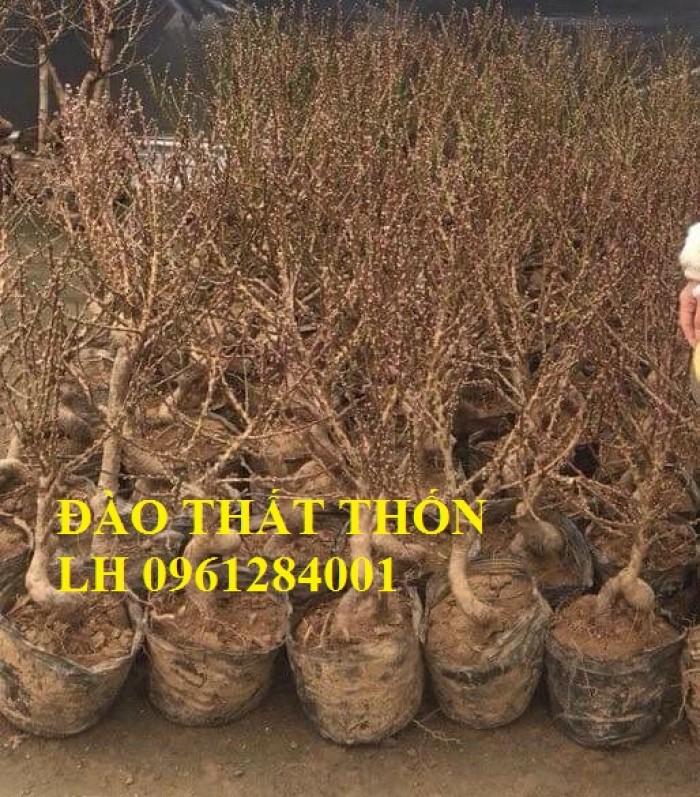 Đào thất thốn - đào tiến vua, hoa đào chơi tết, hoa đào, hoa tết 20197