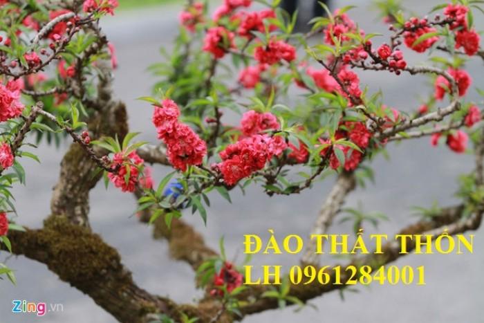 Đào thất thốn - đào tiến vua, hoa đào chơi tết, hoa đào, hoa tết 20199