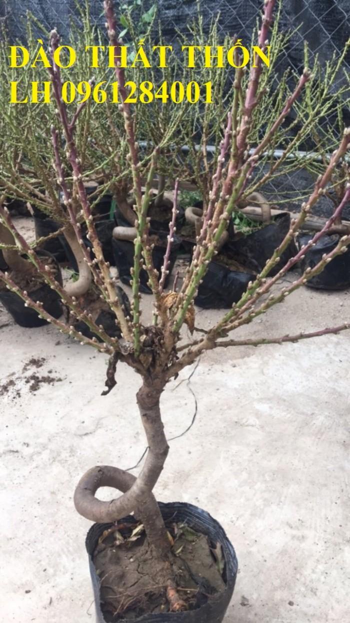 Đào thất thốn - đào tiến vua, hoa đào chơi tết, hoa đào, hoa tết 20192