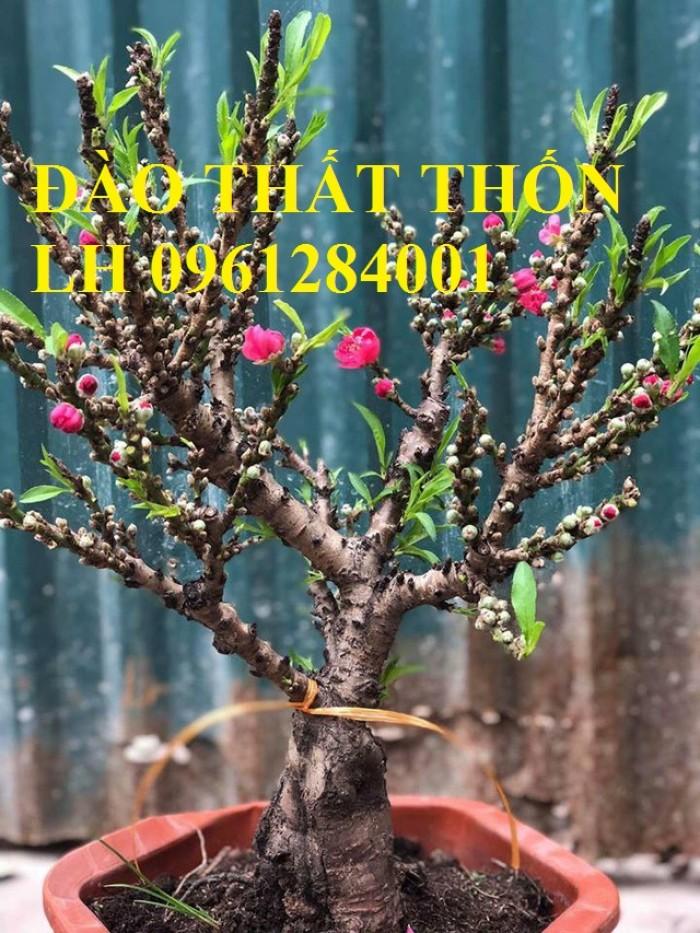 Đào thất thốn - đào tiến vua, hoa đào chơi tết, hoa đào, hoa tết 20190