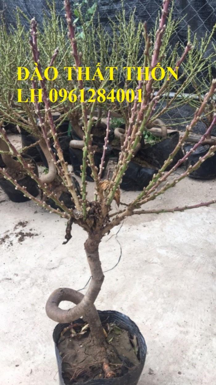 Đào thất thốn - đào tiến vua, hoa đào chơi tết, hoa đào, hoa tết 20191
