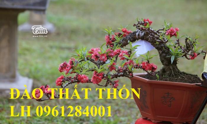 Đào thất thốn - đào tiến vua, hoa đào chơi tết, hoa đào, hoa tết 20198