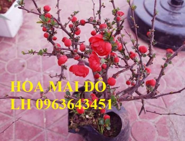 Sỉ, lẻ cây mai đỏ, cây hoa mai đỏ bán tết, cây hoa mai đỏ bonsai, uy tín, giao toàn quốc7