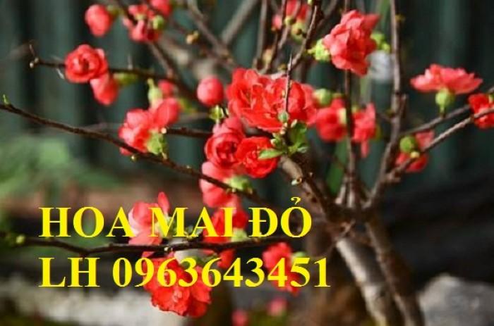 Sỉ, lẻ cây mai đỏ, cây hoa mai đỏ bán tết, cây hoa mai đỏ bonsai, uy tín, giao toàn quốc11