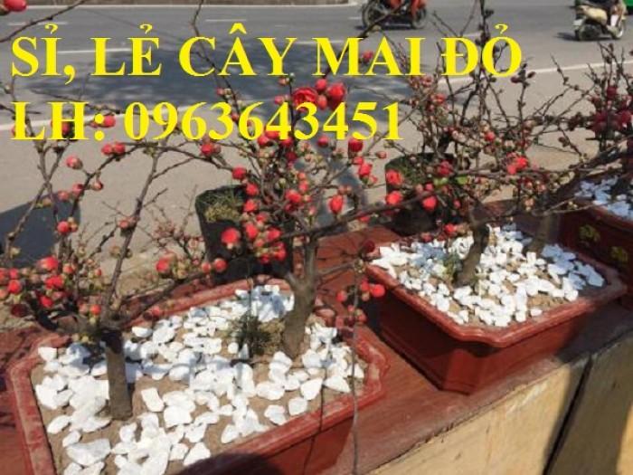 Sỉ, lẻ cây mai đỏ, cây hoa mai đỏ bán tết, cây hoa mai đỏ bonsai, uy tín, giao toàn quốc6